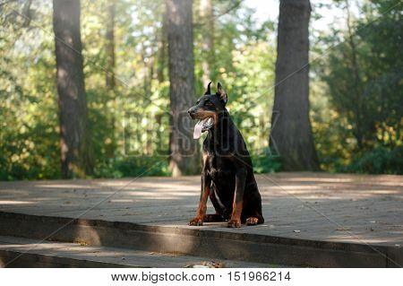 Doberman Dog, Beautiful Pet