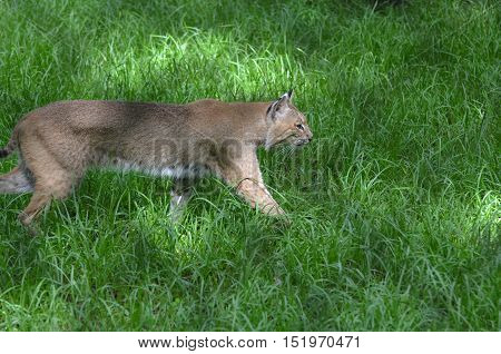 Prowling bobcat stalking prey in tall grass.