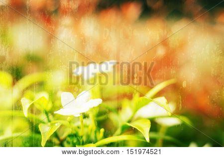 Vintage landscape nature flower background White flower with light bokeh nature blur background