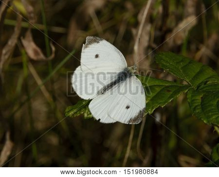 A Cabbage White Sulphur butterfly (Pieris rapae), resting on a leaf during the day, shown in York County Pennsylvania, USA.