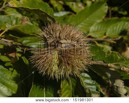A bur or burr, of a Chestnut tree (Genus Castanea) beginning to split open in early autumn.
