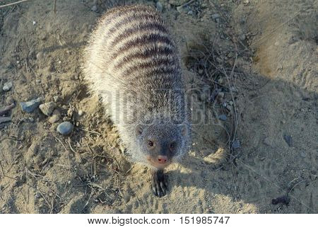 A Banded Mongoose Standing On the Sandy Ground  And Looking