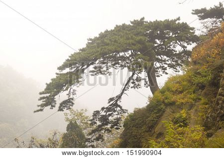 The famous landmark pine facing guests tree on tiashan or mount tai on a foggy day in Shandong province China.