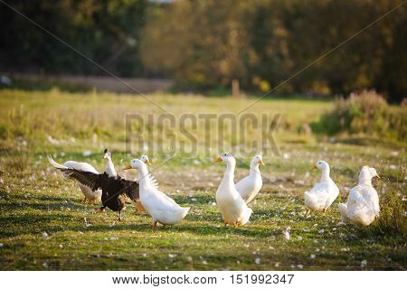 several white domestic ducks on a pond