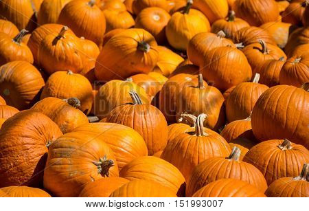Large Selection of Pumpkins at Halloween Pumpkin Patch in Round Rock , Texas which one will you pick and turn into a Jackolantern