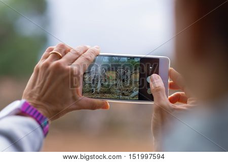Tourist taking photo with smartphone herd of Zebras in the bush. Wildlife Safari in the Kruger National Park travel destination in South Africa. Selective focus on display of generic smartphone.