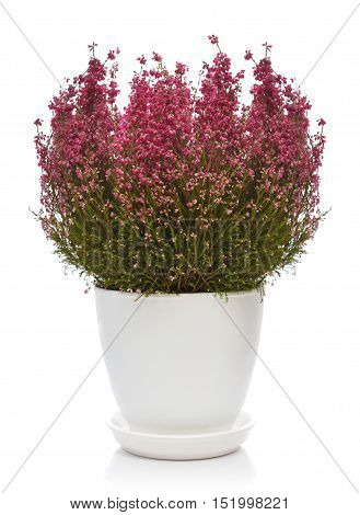 Calluna vulgaris (known as common heather ling or simply heather) in flower pot isolated on white background