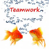 teamwork or team concept with word and goldfish on white poster