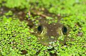 A bullfrog peeks out of a moss covered pond at night poster