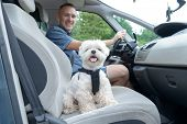 Small dog maltese in a car his owner in a background. Dog wears a special dog car harness to keep him safe when he travels. poster