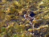 There is a swimming frog in a lake with a transparent water. It is easy to see that frog mimicries with a brown bottom of the lake. Especially this effect is strengthen in the presence of glare and underwater background. poster