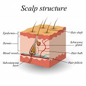 The structure of the hair scalp anatomical training poster. Vector illustration. poster