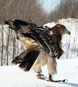 Imperial eagle (Aquila heliaca) on a snow poster