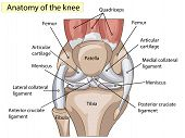 Anatomy. Knee Joint Cross Section Showing the major parts which made the knee joint For Basic Medical Education Also for clinics poster