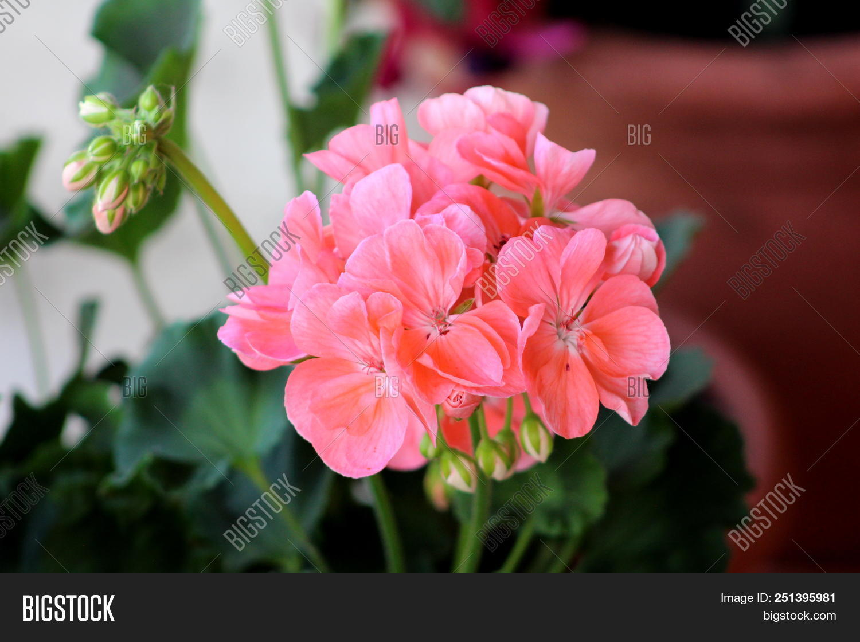 Salmon Pink Image Photo Free Trial Bigstock