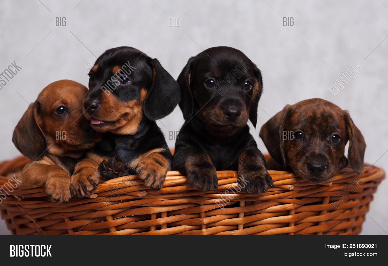 Lots Cute Dachshund Image Photo Free Trial Bigstock