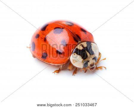 Close-up View Of Ladybug Isolated On White Background