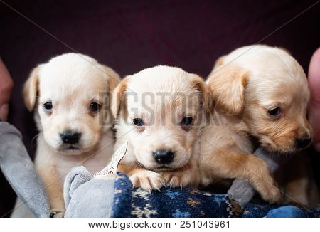 Cute Little Puppies White Colour At Home