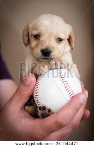 Cute Little Puppy On Big Baseball Ball In Man Hands
