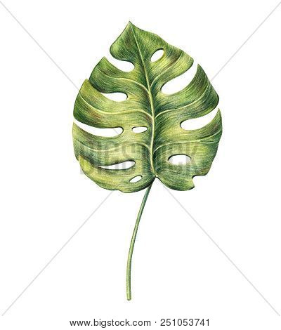 Exotic Tropical Leaf Of Monstera Palm, Hand-drawn With Colored Pencils, Raster Illustration Isolated