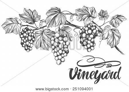 Grape Vine, Grape, Calligraphy Text Hand Drawn Vector Illustration Realistic Sketch.