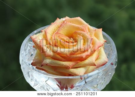 Rose Bud In A Crystal Glass With Drops Of Moisture