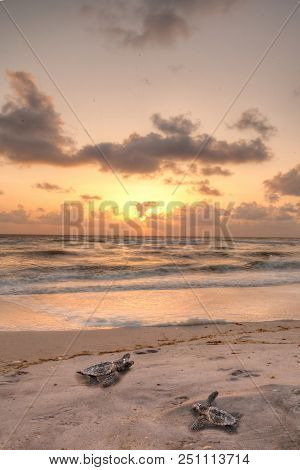 Golden Sunset Over Hatchling Turtles Caretta Caretta As They Travel Over The White Sand Of Clam Pass