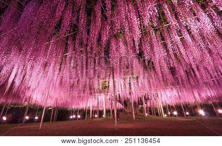 Beautiful View Of Great Purple Pink Wisteria Trellis At Night At Ashikaga Flower Park, Japan. Nature