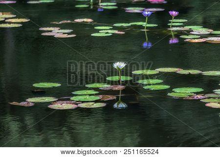 Lily Flower Pond Of Umi Jigoku Beppu