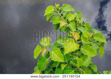 Picture Of Bodhi Tree Flower, Clear Blue Sky Background Stock Photo, Images And Stock Photography. .