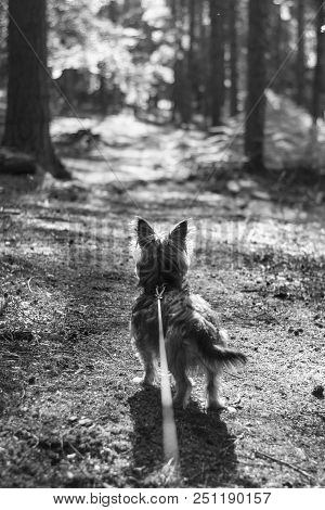 Pets And Animals , A Yorkshire Terrier Dog Being Taken For A Walk In Rural Woodland