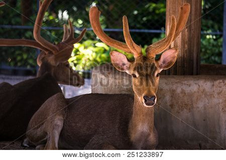 Deer Are The Ruminant Mammals Forming The Family Cervidae. Species In The Family Include The White-t