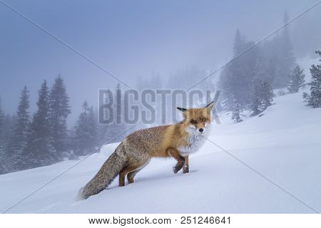 Beautiful Wild, Furry, Red Fox In The Snow, In The Mountains