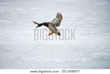 Male Duck Landing On Ice Lake Winter Survive Wild Life