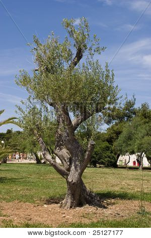 Olive Tree In Dalmatia