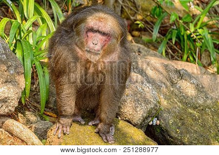 Stump Tailed Macaque, An Asian Species Introduced To The Island Of Tanaxpillo On Lake Catemaco In Ve
