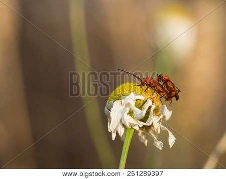 The Common Red Soldier Beetles Rhagonycha Fulva Copulating On A Flower