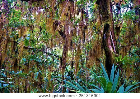 Tillandsia Usneoides Hanging From Trees In The Rain Forest