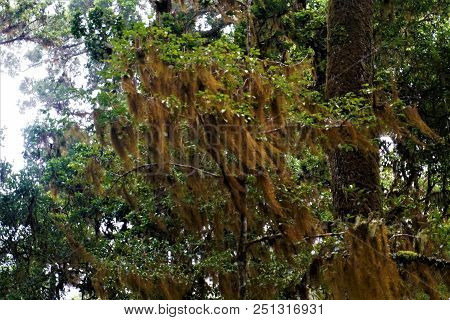 Tillandsia Usneoides Spotted In The Los Quetzales National Park, Costa Rica
