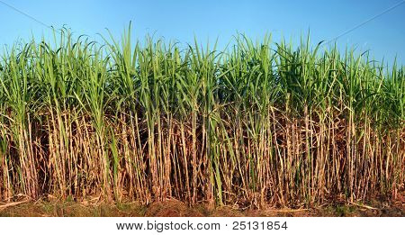 Panoramic view of sugarcane plantation
