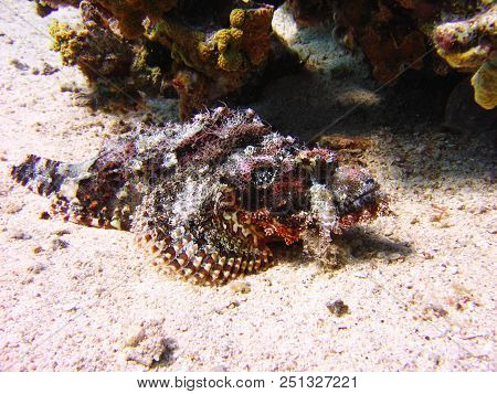 Underwater Photo, A View Of The Corals And Tassled Scorpionfish In The Red Sea In Israel