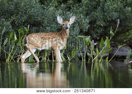 A White-tailed Deer Fawn (odocoileus Virginianus) Heads To Shore After A Morning Swim - Haliburton,