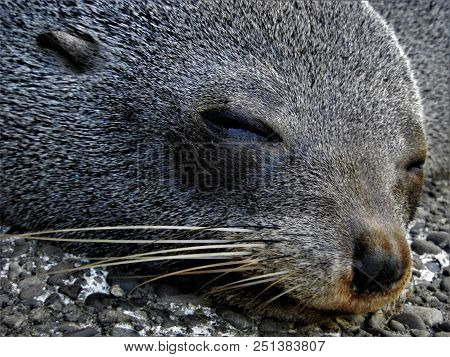 A Fur Seal Is Trying To Sleep