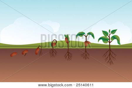 Seeding /Growing process vector illustration