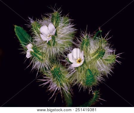 A Tiny Spiny Flower Native To Arizona Called A Cryptantha. The White Flowers Are Only One Eighth Of