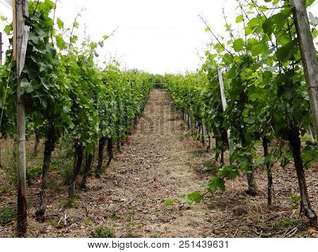 Big Vineyard At Ahrweiler, Rhineland-palatinate In Sommer