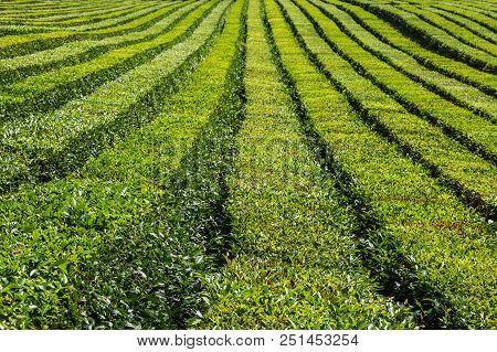 The Relief Landscape Of The Tea Plantation. Near Sochi, Russia. The Photo Shows A Tea Plantation In