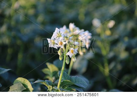 White Flowers On The Potato Plants On A Field In Zevenhuizen, The Netherlands.