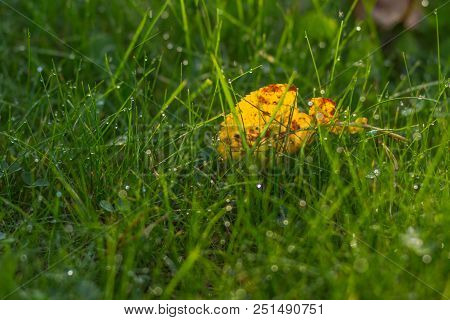 Fresh Green Grass With Dew Drops Close Up. Green Grass Background. Close Up Grass In Forest After Ra