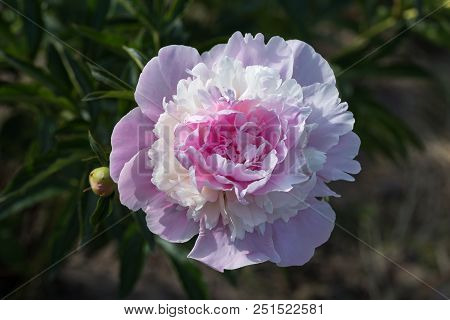 Blossoming Pale Pink Peony Flower On A Green Background Close-up